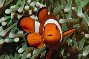 clownfish hiding in sea anemone